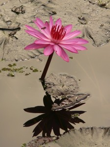 water-lily-4464_640